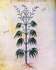 180px-cannabissativadior