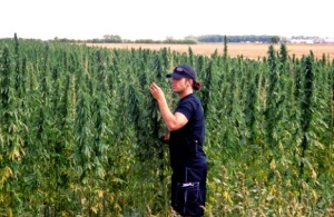 manitoba-hemp-crop-under-inspection